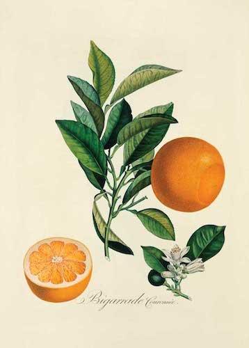HBC ON10 orange antiq illus1 - Апельсиновый рай