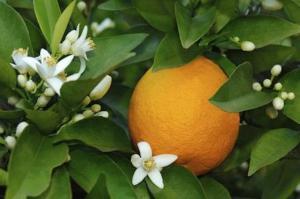 come piantare un arancio a9bc8fd0ed103c9eed318477daa0f32a 300x199 - come-piantare-un-arancio_a9bc8fd0ed103c9eed318477daa0f32a