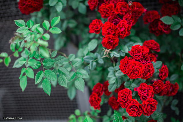 IMG 9097 copia - Сад роз на холме Авентин