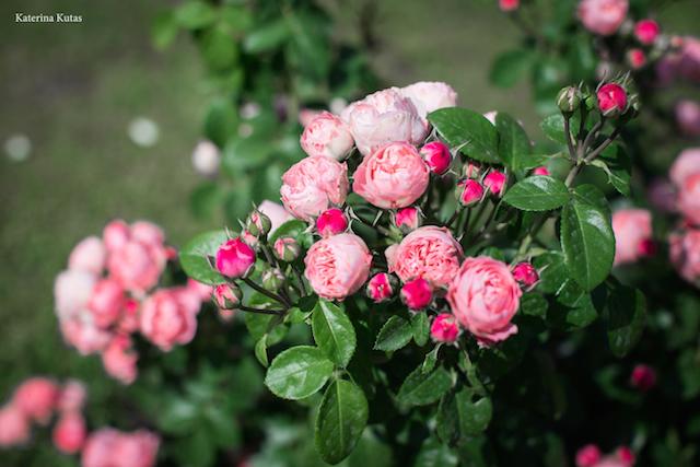 IMG 9113 copia - Сад роз на холме Авентин